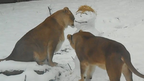 In Boise, zookeepers made a snowman in these lions' play area, the lions mauled it.
